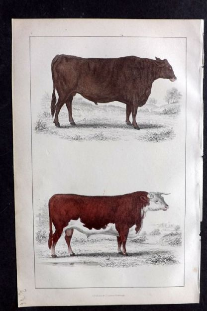 Goldsmith 1850s Hand Col Print. Suffolk Ox. Herefordshire Bull 05